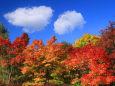 鮮やかな紅葉と綿雲ふたつ