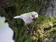 白いシジュウカラ171