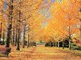秋のイチョウ並木