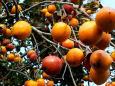鈴なりの柿の実
