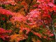 くじゅうの紅葉