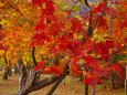 河口湖北岸の色づく木々