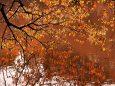 桜の紅葉と映り込み