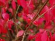 赤い実もかわいいニシキギ