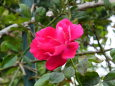 秋のバラ一輪