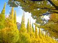 色ずく いちょう並木