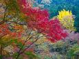 袋田の滝 下流の紅葉