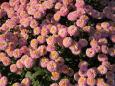 常念寺・本坊玄関の菊