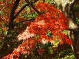 色づく木陰の楓