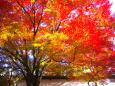 日本の風景 京の秋 曼殊院の紅葉 壁紙1920x1280 壁紙館
