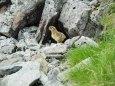 南岳のチビ雷鳥