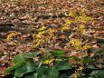 ツワブキと落ち葉
