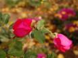 昼下がりの薔薇
