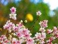 満開の冬桜