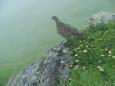 大日岳のママ雷鳥2