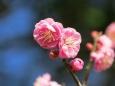 早咲きの寒紅梅