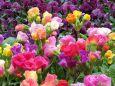 バラ咲きプリムラ