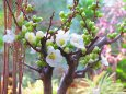 白い木瓜(ボケ)の花