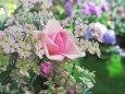 バラと桜草