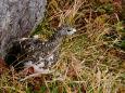 杓子平のママ雷鳥3