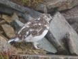 抜戸岳のチビ雷鳥