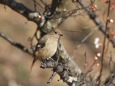 梅の木に小鳥