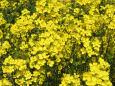 春を待ちわびて-菜の花