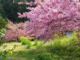 春、河津桜も菜の花も