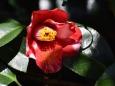 斑入りの赤い椿
