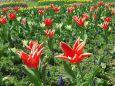 一斉に咲き出すチューリップ
