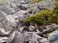 常念岳のチビ雷鳥達5