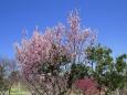 桜咲き出した明石海峡公園