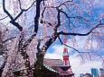しだれ桜と東京タワー