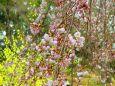 咲きはじめた白枝垂れ桜