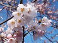 淡墨桜の開花