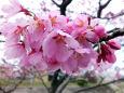 五分咲きの雅桜