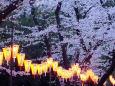 上野公園夜桜