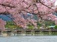 桜咲く嵐山渡月橋