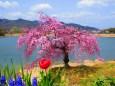 六甲山北山湖畔の一本紅枝垂桜