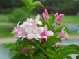 咲き出したタニウツギ