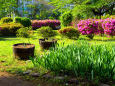 ツツジの花咲く公園
