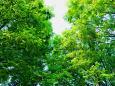 見上げる新緑