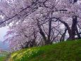 角館・ 檜木内川沿いの桜並木
