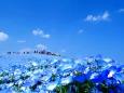 日本の風景 ネモフィラの丘 壁紙1920x1282 壁紙館
