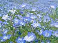 花 植物 ネモフィラ 壁紙1920x1280 壁紙館