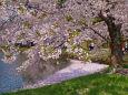 春爛漫の弘前公園