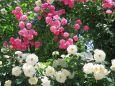 薔薇エーデルワイスとアンジェラ