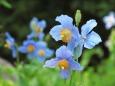 ヒマラヤの青いケシの花