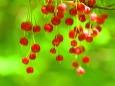 紅満天星(ベニドウダン)の花