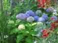柔かな色合い紫陽花メロデイ